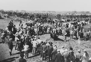 Exposición de ganado en el campo argentino